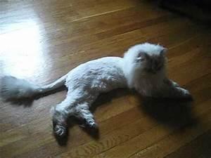 Himalayan persian cat lion cut – Popular breeds of cats ...