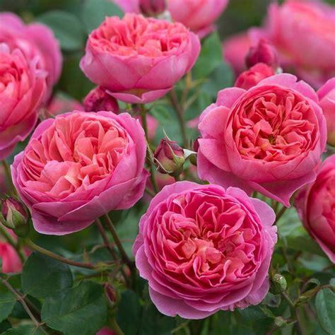 austen roses 25 best ideas about david austin roses on pinterest david austin beautiful roses and english