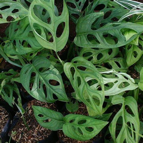 tanaman hias daun wwwpicswenet