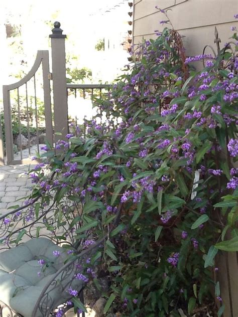 Climbing Vines, Fast Growing And Drought Tolerant On Pinterest