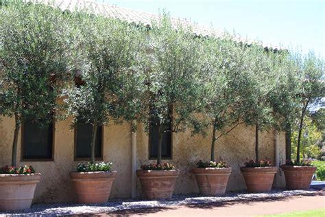 ulivo in vaso ulivo in vaso piante da giardino coltivare ulivo