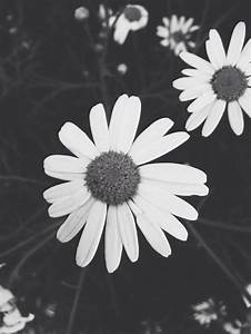 Black And White Daisies Pictures, Photos, and Images for ...