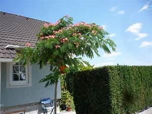 Bäume Für Kleine Gärten : albizzia julibrissin schlafbaum seidenbaum garden pinterest kleine g rten pflanzen und ~ Sanjose-hotels-ca.com Haus und Dekorationen