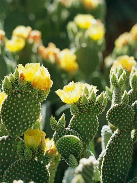 opuntia microdasys var pallida bunny ears cactus