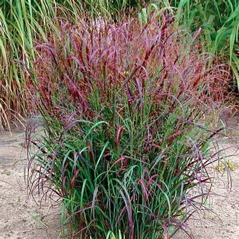 what ornamental grasses are perennials 250 best mo native plants images on pinterest flower