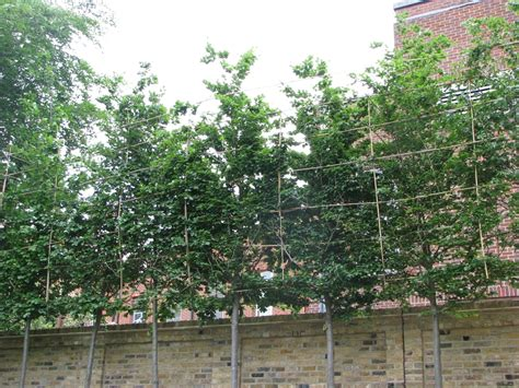 small trees for screening tips and advice on screening trees ruskins trees