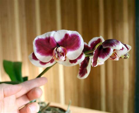 orchid flowering season sunnybeachjewelrygarden orchids blooming season