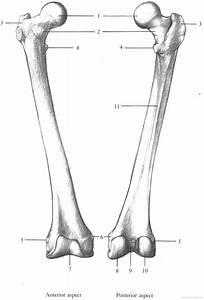 Femur Bone Blank Diagram