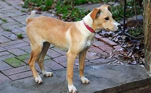 Whippet Lab Mix Related Keywords & Suggestions - Whippet ...
