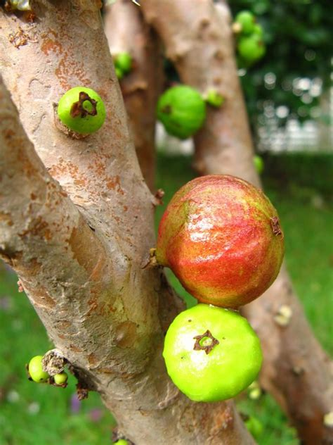 An Unusual Tree Called Jaboticaba, On Which Fruit Grow