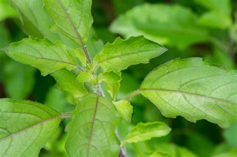 basilikum pflanze pflege thai basilikum pflegen 187 die wichtigsten pflegehinweise