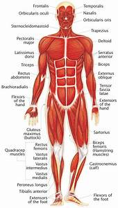 Nervous System Anatomical Chart What Are The Different Body Systems In Human Body And What