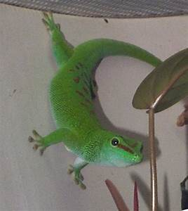 Baby Giant Day Gecko 36499 | NOTEFOLIO