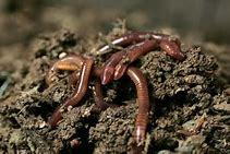 Разведение дождевых червей в домашних условиях