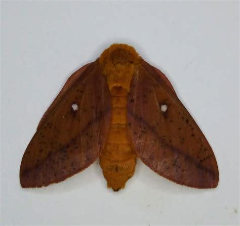 moths  north carolina