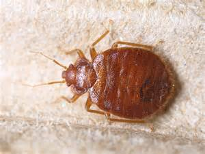 What Time Does Red Carpet Start by Bed Bugs Fort Wayne Allen County Department Of Health