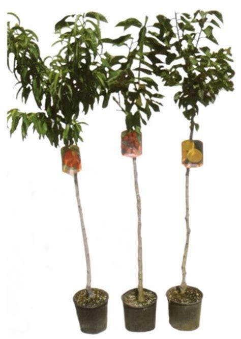 piante da frutto in vaso pianta da frutto in vaso 3 anni micosan