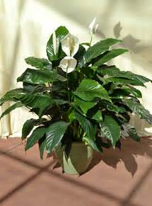 Tropical Plants Indoor Peace Lily