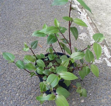 Hängepflanzen Zimmer Kaufen by Dreimasterblumen Tradescantia Jk S Pflanzenblog