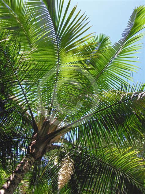 ravenea rivularis majestic palm information