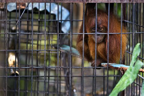 illegal trade pet wildlife orangutan sumatra caged zoo orangutans aceh flourishes kept baby island sumatran hilton paul kadang source illegally