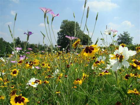 immagini prato fiorito coltivazione prato fiorito idee green