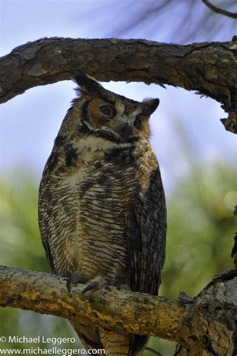 great horned owl brevard county fl home sweet home