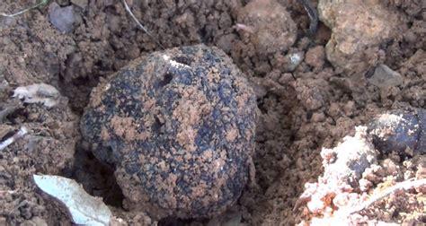 comment cuisiner les truffes où et comment trouver des truffes dans le luberon