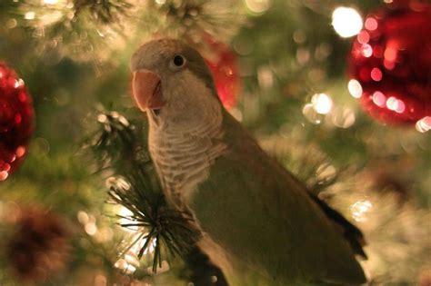 christmas trees  parrots parrot essentials