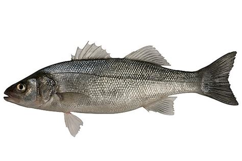 sea bass fish bass fishing restrictions 2016 torquay a local guide
