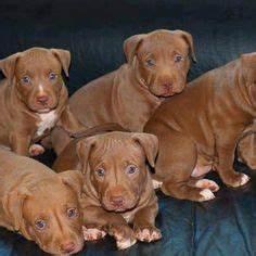 Future doggy on Pinterest | Blue Nose Pitbull Puppies ...