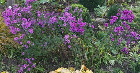 Garten Im Herbst Graben by Herbst Astern Teilen Mein Sch 246 Ner Garten