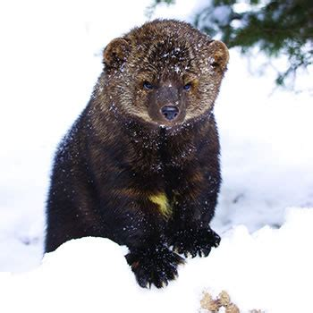 fisher cat control removal of fishers catseye pest