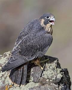 Peregrine Falcon   Audubon Field Guide  Falcon