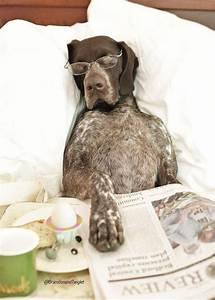 the 15 funniest german shorthaired pointer memes petpress