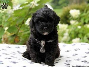 23 best images about Portuguese water dogs on Pinterest ...