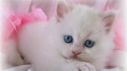 Cat Wallpapers Desktop Lovable Cats Amazing Lovely