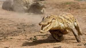 Krokodyl, Bieg Na Pulpit