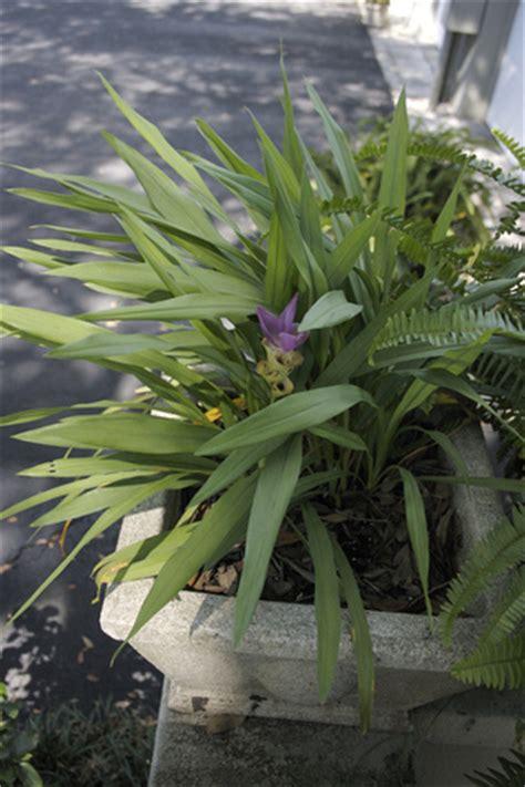 curcuma comme plante d ornement culture entretien