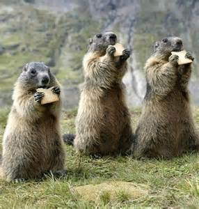 Marmots Eating Biscuits
