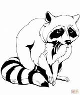 Coloring Raccoon Pages Clipart Raccoons Printable Common Simple Drawing Crafts Main sketch template