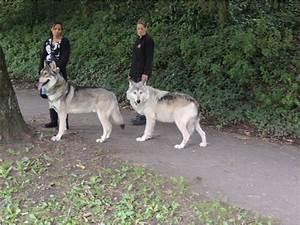 large wolf hybrids | Saarloos wolfdog 3 | Exotic Pets ...