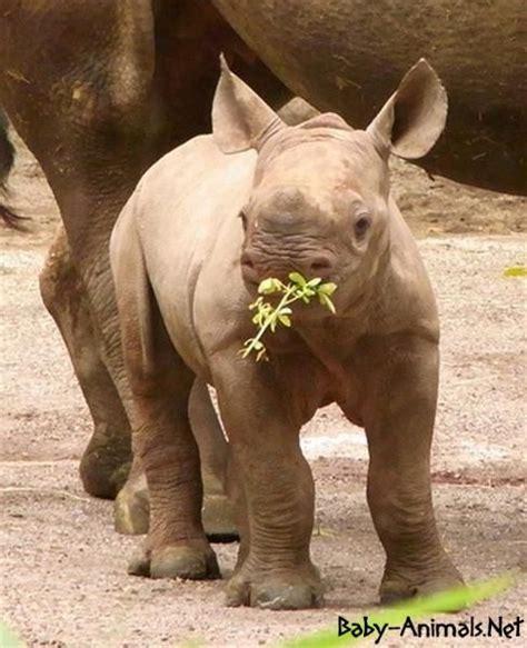 baby rhino images  pinterest rhinos animal