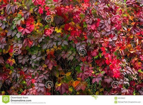 Plant With Red Leaves On A Wall Stock Photo  Image 46120823