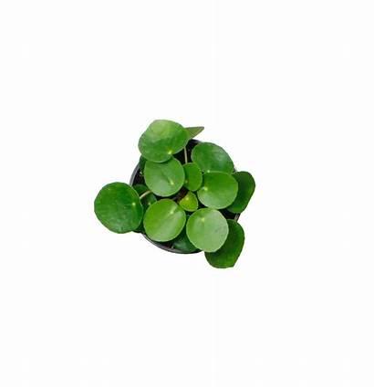 Pilea Plant Spread Fun Peperomioides