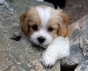 Cavachon (Bichon-King Charles mix) Info, Temperament ...