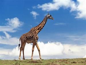 Best Wallpapers: Giraffe Wallpapers  Giraffe