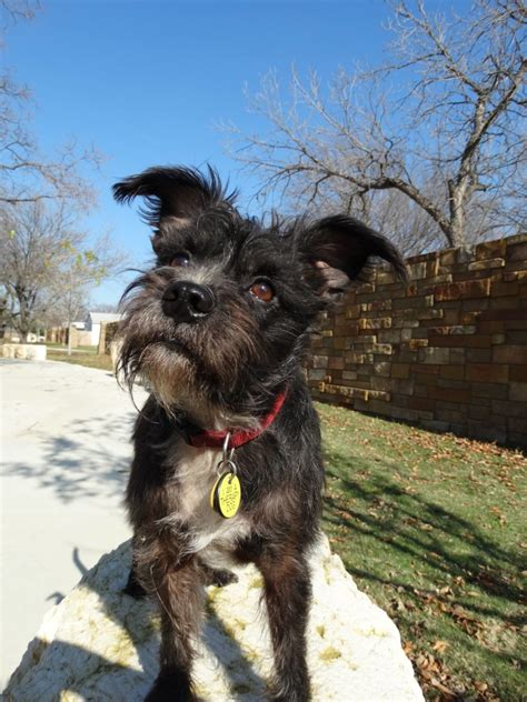 lost dog irving texas scruffy