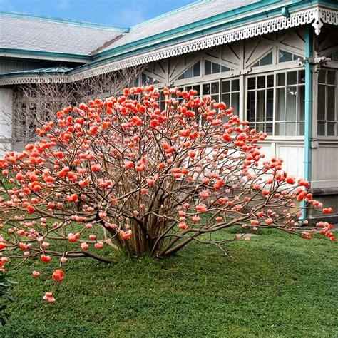 Japanischer Garten Bäume by Japanischer Papierstrauch Pflanzen B 228 Ume