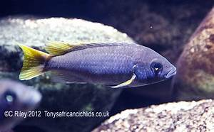 Pseudotropheus acei Yellow Tail